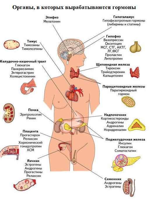 Органы вырабатывающие гормоны